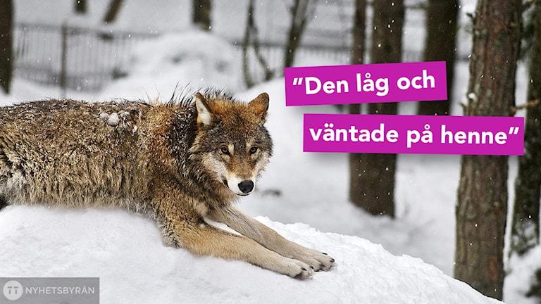 En varg som ligger i snö.