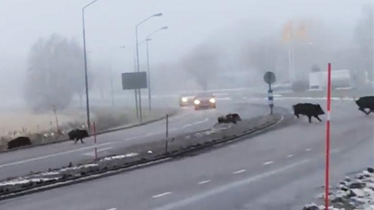 Vildsvin springer över väg.