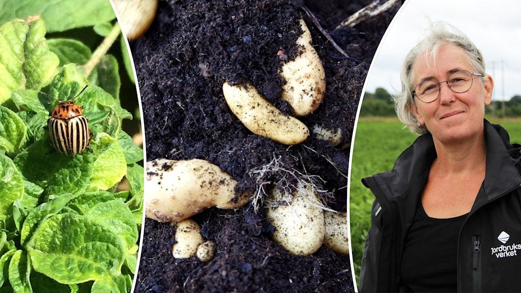 Montage med potatis, en kvinna och en skalbagge.