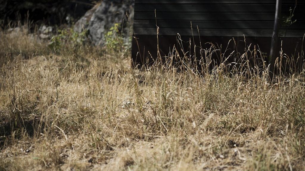 Bild på torrt gräs.