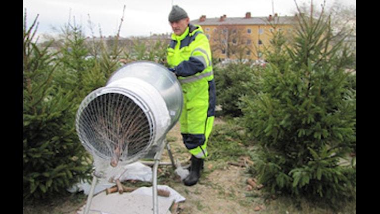 En man, Stig, Svensson, packeterar julgranar i nät. Foto: Tobias Sandblad
