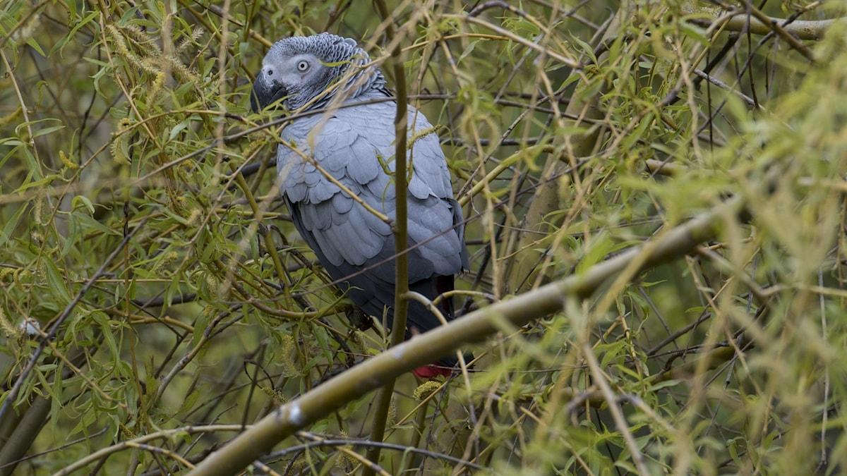 En grå papegoja.