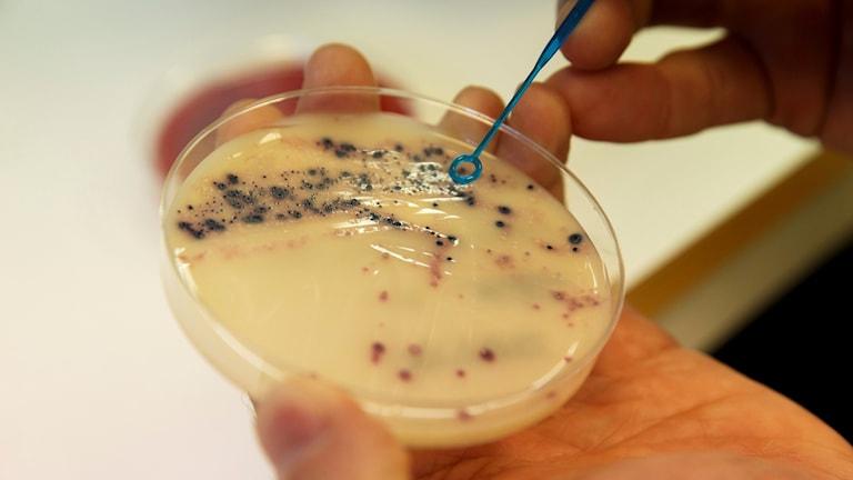 Bakterier.
