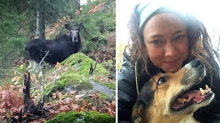 Älg i skogen och Emelie Lund med hunden Yup