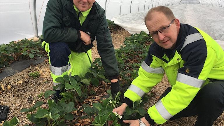 Patrik Axelsson med tidiga jordgubbar