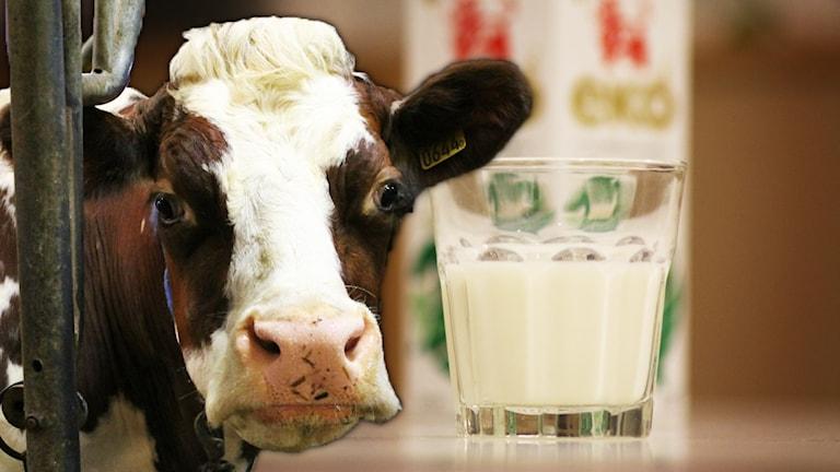 Kossa och mjölkglas.