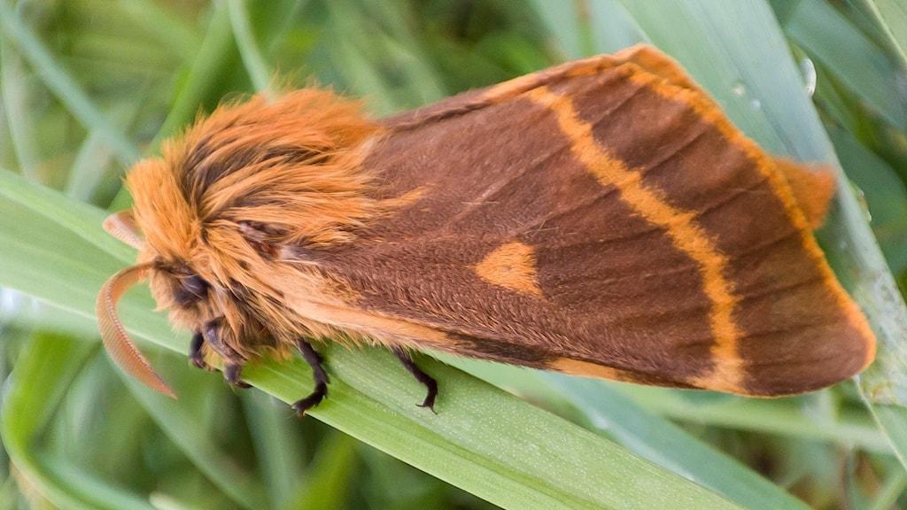 Orangebrun lurvig fjäril med taklagda vingar och böjda antenner, svarta fötter på grönt grässtrå