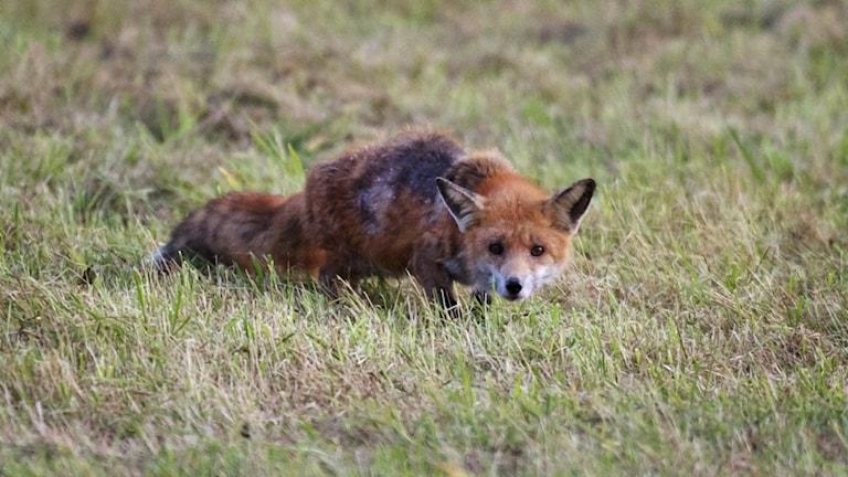 En räv som ligger på en plätt med gräs, den hukar och tittar mot kameran.