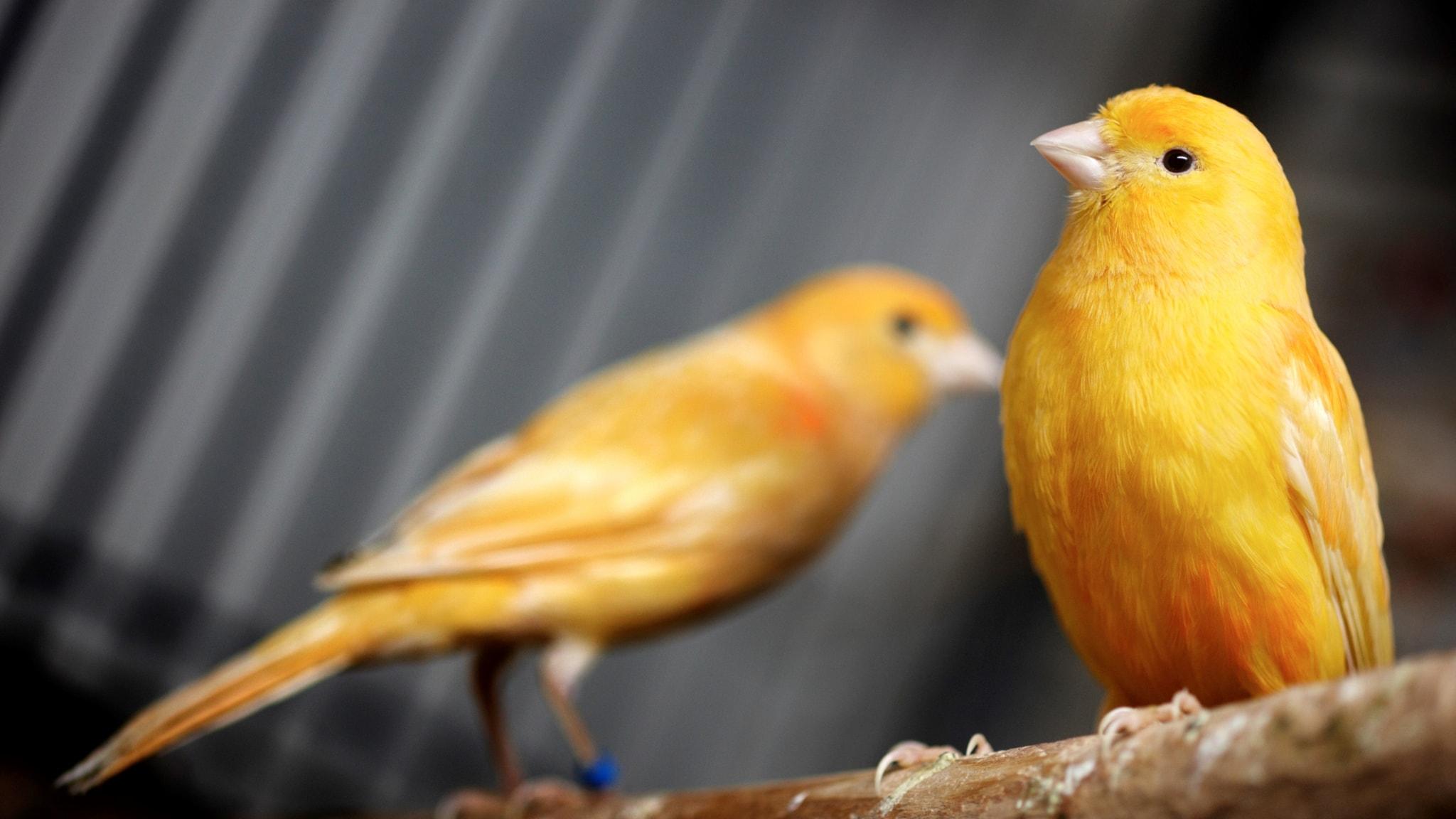 Svart Canary kön