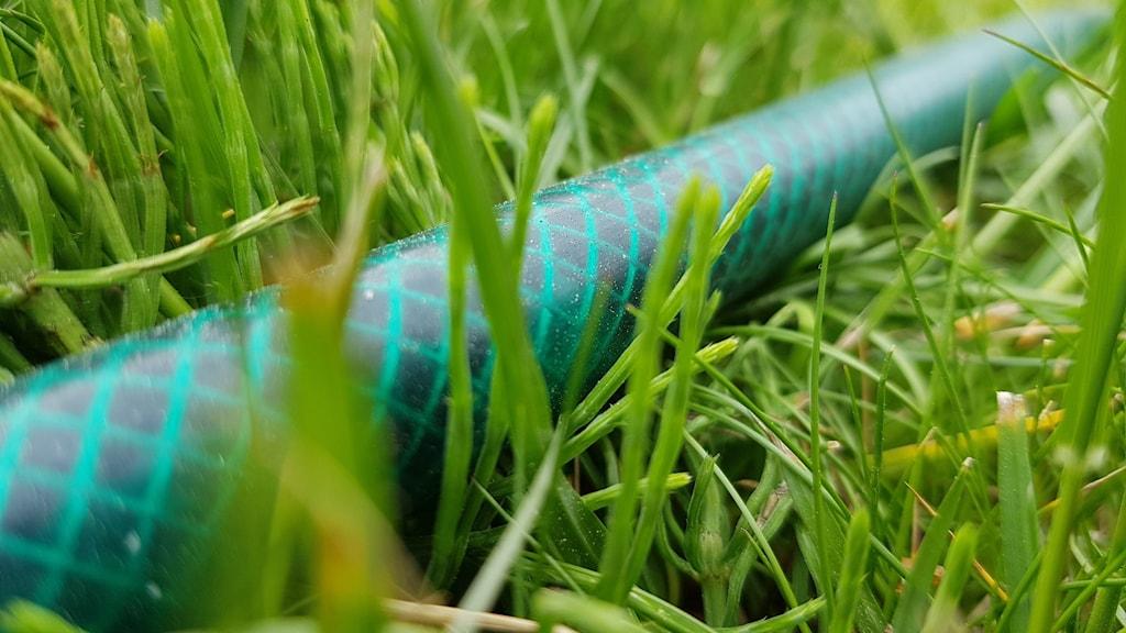 Vattenslang i gräs.