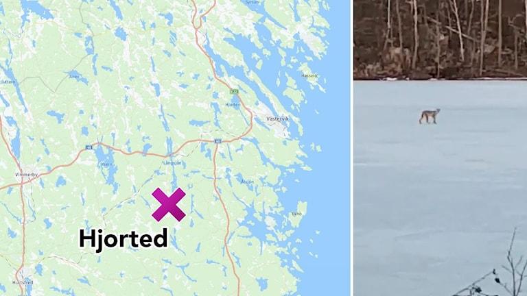Karta över delar av Västerviks kommun med Hjorted utsatt, bredvid en bild från en film på ett lodjur.