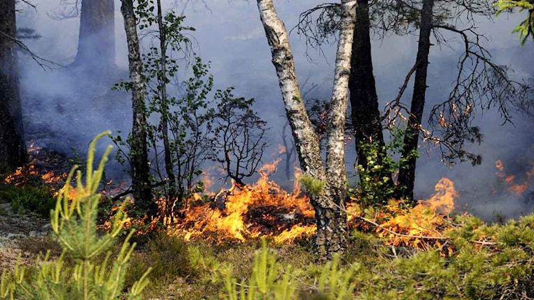 Skogsbrand. Foto: Pontus Lundahl/TT.