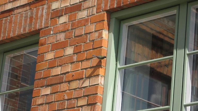 En fågel sitter vid ett fönster på ett bostadshus. Foto: Hans Andersson/SR Sörmland.