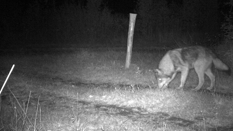 En av bilderna från länsstyrelsens viltkameror, föreställandet som som sannolikt är en av varghundarna.