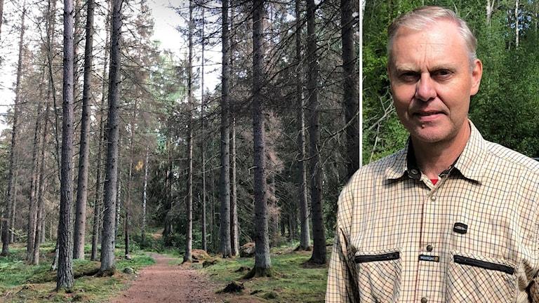Angripen skog granbarkborre i Flen Erik Waltersson
