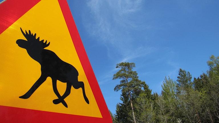 Varning för älg-skylt. Foto: Nick Näslund/Sveriges Radio.