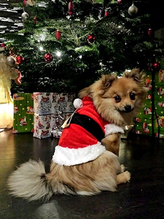 Hund framför julgran. Foto: Susanne Hedsköld.