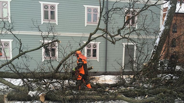 Lindar nedkapade vid Smörparken i Eskilstuna. Reporter Fredrik Blomberg/Sveriges Radio.