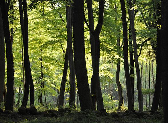 De mörka stammarna under det täta lövverket inne i bokskogen mot det ljusa skira ljuset där solen kommer åt att lysa upp. Foto: Maj-Lis Danielsson