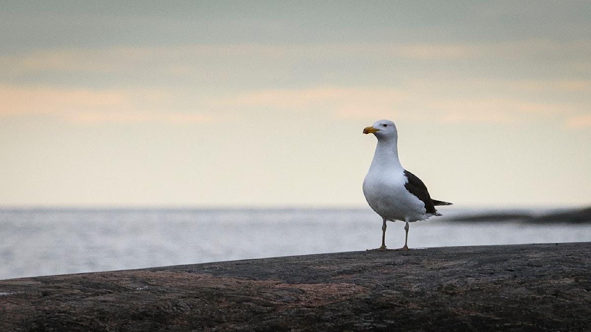 Fågel med vit kropp och svarta vingar sitter högrest och imponerande på en klippa vid havet