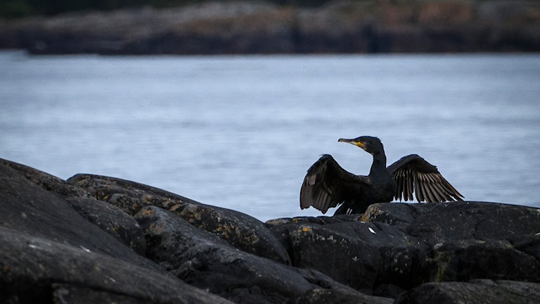Storskarv med vingarna karakteristiskt utbredda. Foto: Per Thyrén/Sveriges Radio.