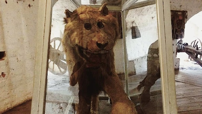 Gripsholms slotts lejon Leo. Foto: Andreas Johnsson/Sveriges Radio.