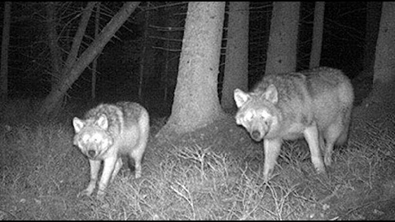 vå vargar i Sjundareviret i Sörmland fångade på bild. Foto: Länsstyrelsen i Stockholm.