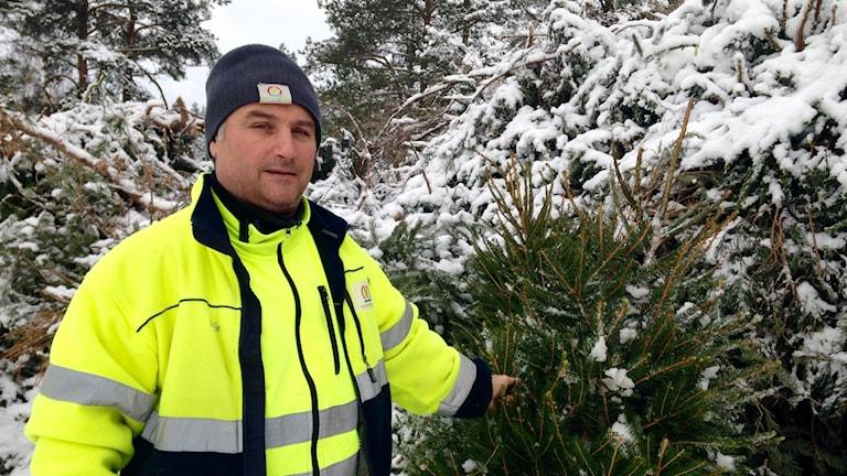 Marinko Sanjkovic ser till så att granarna hamnar på rätt plats på återvinningscentralen. Foto: Hugo Wennström Sveriges Radio.