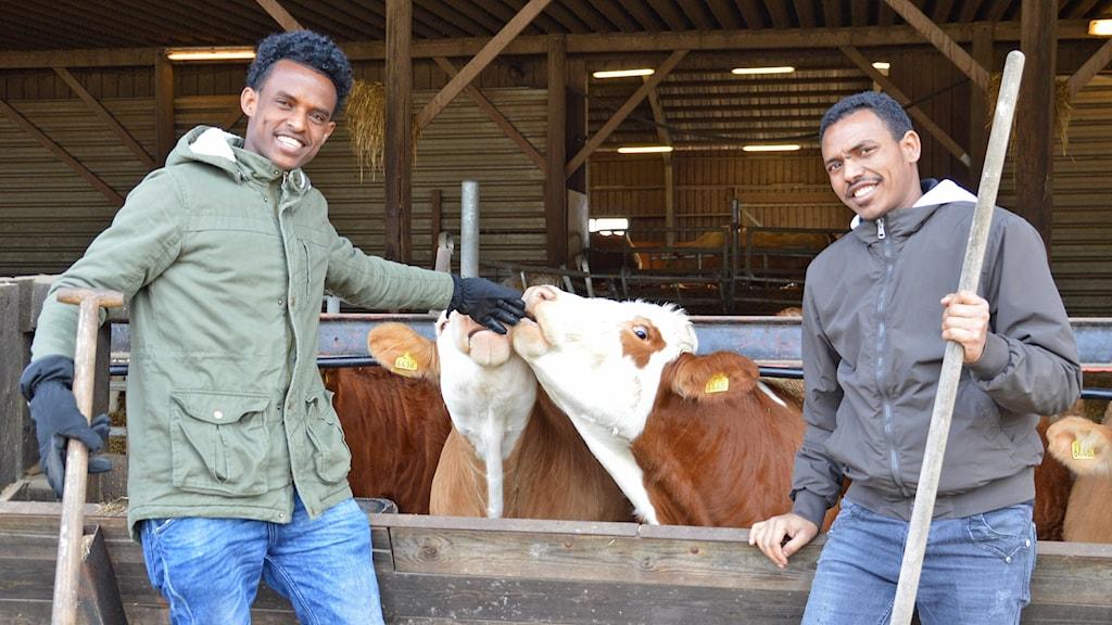 Twelde Haile Abay och Mulu Tekle med varsin kratta i handen, kor i bakgrunden.