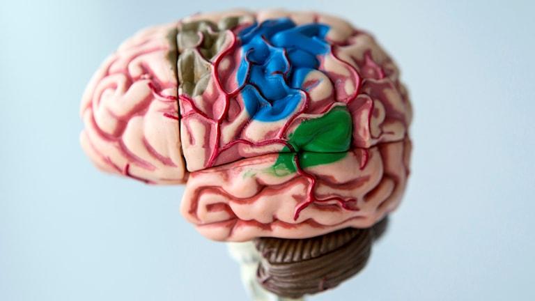 Modell av en människohjärna.