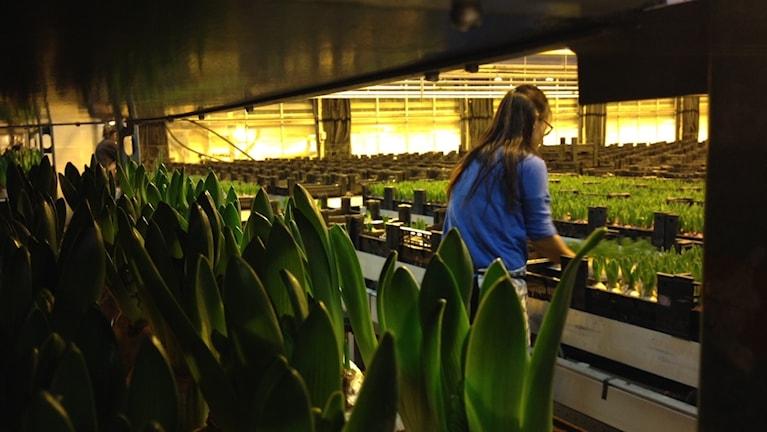Hyacinter, arbetare och blomband. Foto: Linnéa Wannefors/Sveriges Radio.