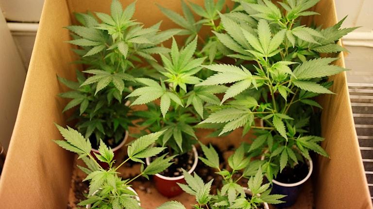 Cannabis i låda. Eric Risberg/TT.