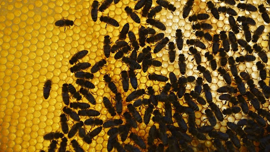 Biodling. En kaka med med honung och bin. Foto: Henrik Montgomery / TT