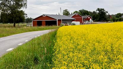 Rapsfält och röd gård med vita knutar. Foto: Christine Olsson/TT.