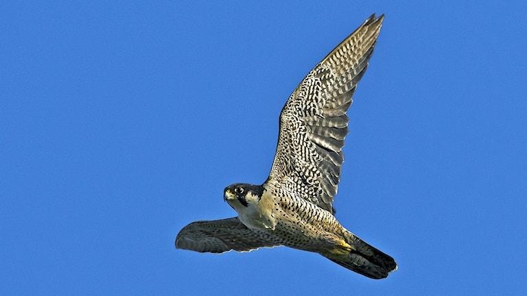 Flygande pilgrimsfalk