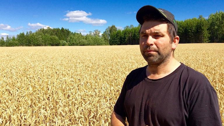 En jordbrukare står mitt i ett vetefält med keps och tittar framåt.