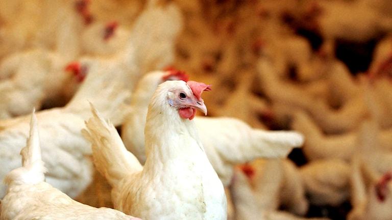 Fågelinfluensa har konstaterats i en värphönsbesättning i Nyköping