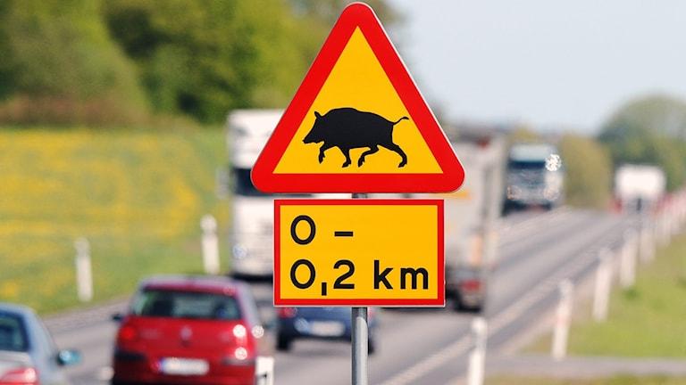 Varningsskylt för vildsvin vid väg. Foto: Johan Nilsson