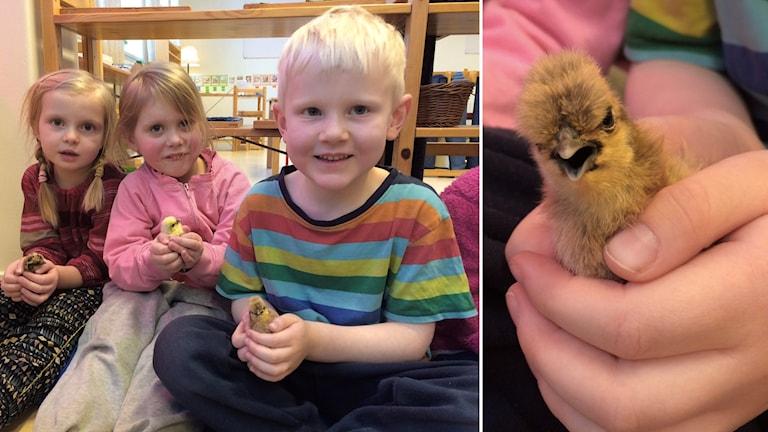 Sigrid Engberg , Milla Regemar och Dag Söderholm visar upp kycklingarna.