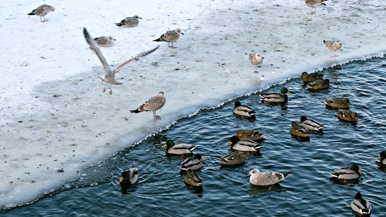 Änder i vintermiljö vid vatten.