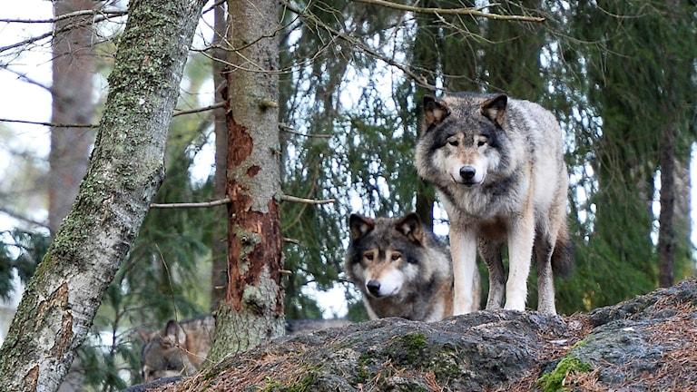 Två vargar i Kolmårdens djurpark