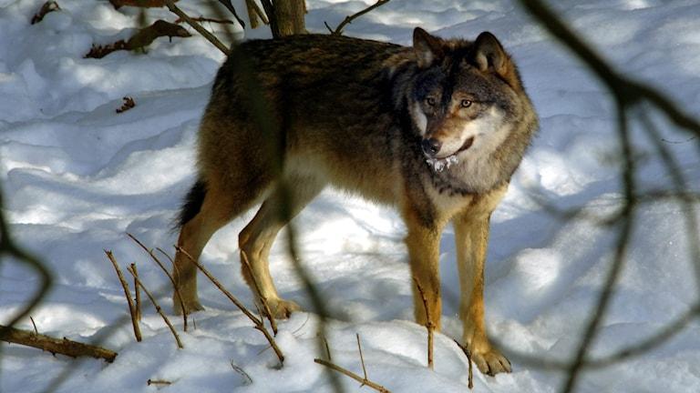 En av vargarna på Skansen i snön.