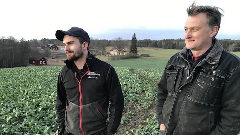 Alexander och Dag von Bothmer, lantbrukare tittar på sin rapsskörd. Foto: Jonas Carnesten/Sveriges Radio.