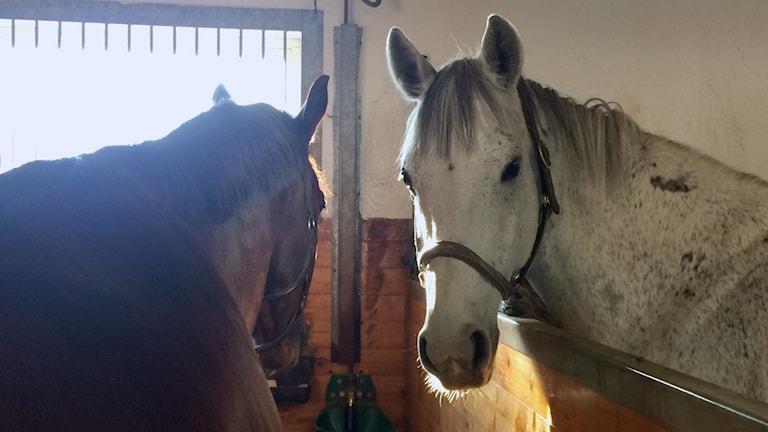 Hästar i ett stall.