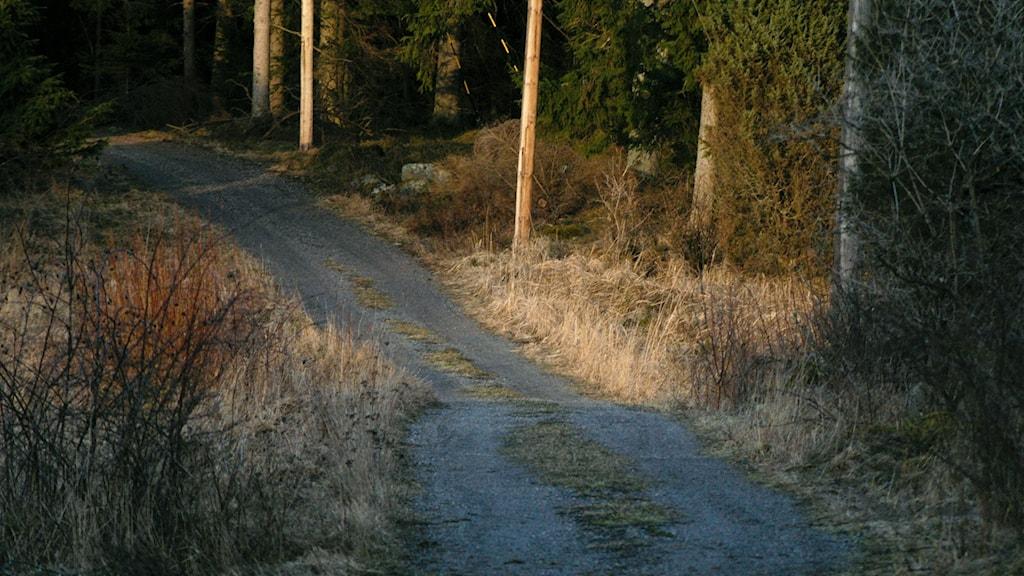 Skogsväg i kvällsljus på våren. Foto: Hasse Holmberg/TT.