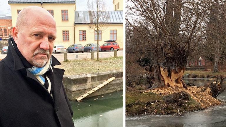 Jorma Seimilä och spår efter bävrar.