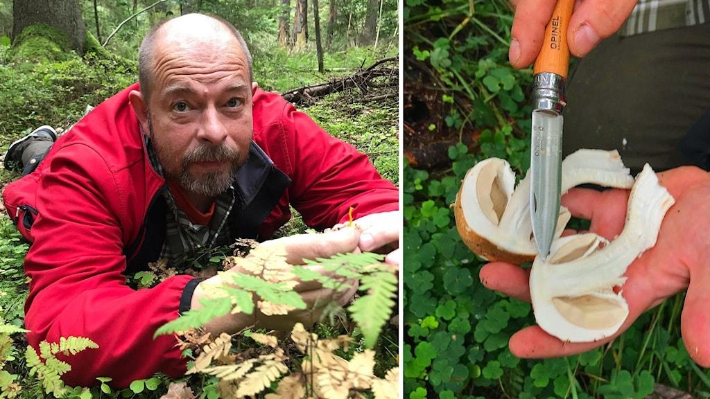 Två bilder: Man med röd jacka liggande på marken med en liten svamp i händerna. En svamp delad i två delar och en kniv.