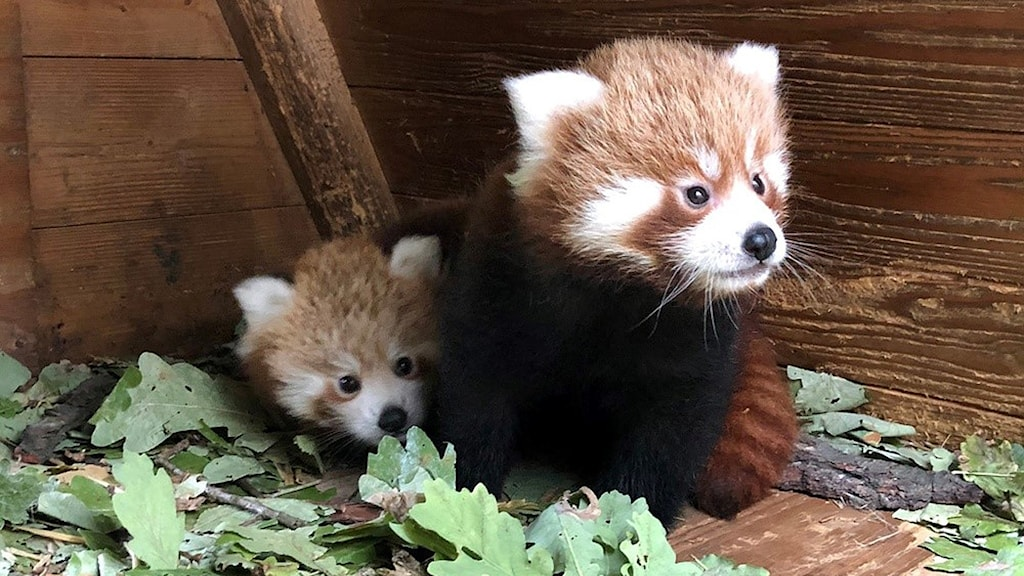 Två röda pandor. Foto: Parken Zoo.