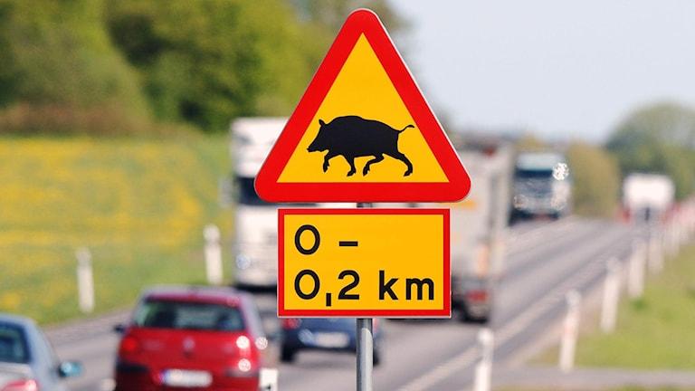 En varningskylt för vildsvin i rött och gult vid kanten av en landsväg.