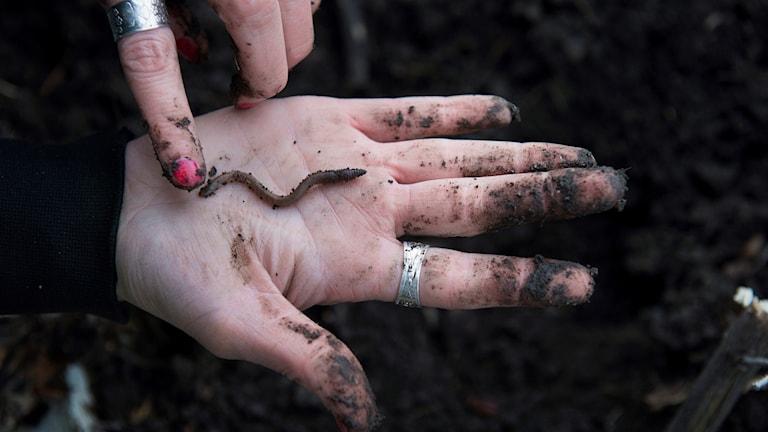 En daggmask i en jordig hand.